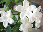 Bridal Bouquet, Madagascar Jasmine, Wax flower, Chaplet flower, Floradora, Hawaiian Wedding flower