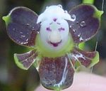 Photo Buttonhole Orchid, purple herbaceous plant