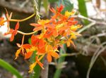 Photo Buttonhole Orchid, orange herbaceous plant
