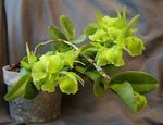 Photo Buttonhole Orchid, green herbaceous plant