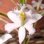 Photo Buttonhole Orchid, white herbaceous plant