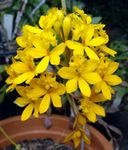 Photo Buttonhole Orchid, yellow herbaceous plant