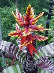 Photo Silver Vase, Urn Plant, Queen of the Bromeliads, red