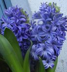 Photo Hyacinth, light blue herbaceous plant