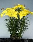 Photo Lilium, yellow herbaceous plant