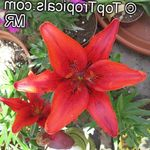 Photo Lilium, red herbaceous plant