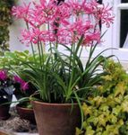Photo Guernsey Lily, pink herbaceous plant
