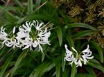 Photo Guernsey Lily, white herbaceous plant