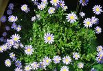 Photo Blue Daisy, light blue herbaceous plant