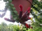 Photo Agapetes, red hanging plant