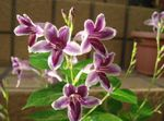 Photo Asystasia, lilas des arbustes
