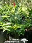 Photo Red Ginger, Shell Ginger, Indian Ginger, red herbaceous plant