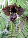 Photo Bat Head Lily, Bat Flower, Devil Flower, brown herbaceous plant