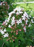 Photo Abelia, white shrub