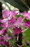 Photo Calanthe, pink herbaceous plant