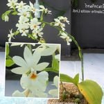 Photo Calanthe, white herbaceous plant