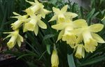 Photo Daffodils, Daffy Down Dilly, yellow herbaceous plant