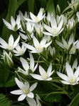 Drooping Star of Bethlehem