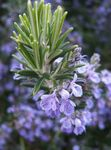 Photo Rosemary, white shrub