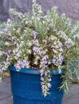 Photo Rosemary, light blue shrub