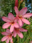 Photo Tritonia, pink herbaceous plant