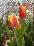 Photo Tulip, red herbaceous plant