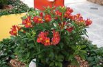 Photo Peruvian Lily, red herbaceous plant