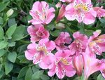Photo Peruvian Lily, pink herbaceous plant