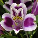 Photo Peruvian Lily, lilac herbaceous plant