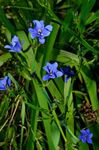 Photo Blue Corn lily, light blue herbaceous plant