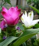 Photo Curcuma, rose herbeux