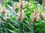Photo Hedychium, Butterfly Ginger, pink herbaceous plant