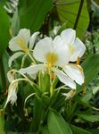 Photo Hedychium, Butterfly Ginger, white herbaceous plant