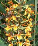 Photo Hedychium, Butterfly Ginger, orange herbaceous plant