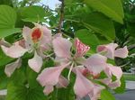 Photo Orchid Tree, pink