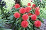 Paint Brush, Blood Lily, Sea Egg, Powder Puff