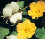 Photo Gossypium, Cotton Plant, yellow shrub