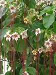 Photo Strophanthus, white liana
