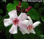 Photo Strophanthus, pink liana