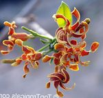 Photo Strophanthus, orange liana