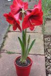 Photo Amaryllis, red herbaceous plant