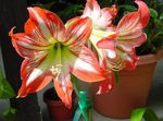 Foto Amaryllis, orange grasig