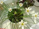 Photo Rain Lily, , white herbaceous plant