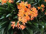 Photo Bush Lily, Boslelie, orange herbaceous plant