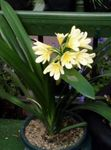 Photo Bush Lily, Boslelie, yellow herbaceous plant