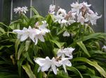 Photo Crinum, white herbaceous plant