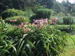 Photo Crinum, pink herbaceous plant