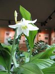 Photo Amazon Lily, white herbaceous plant