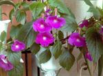 Photo Magic Flower, Nut Orchid, lilac hanging plant