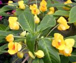 Photo Patience Plant, Balsam, Jewel Weed, Busy Lizzie, yellow